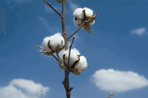 1 3 - The Best Cotton on Earth: West Indian Sea Island Cotton - Custom Fitness Apparel Manufacturer