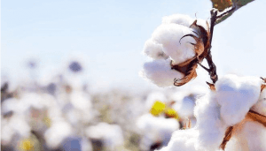 3 10 - What Is Long Staple Cotton? Advantages And 3 Types of Long Staple Cotton - Custom Fitness Apparel Manufacturer