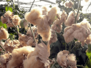 3 25 1 - What Is Colored Cotton? A New Type of Textile Material - Custom Fitness Apparel Manufacturer