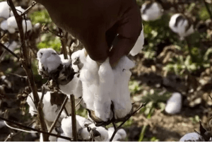 6 1 - The Best Cotton on Earth: West Indian Sea Island Cotton - Custom Fitness Apparel Manufacturer