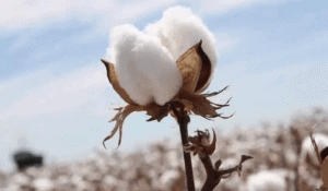 6 6 - What Is Long Staple Cotton? Advantages And 3 Types of Long Staple Cotton - Custom Fitness Apparel Manufacturer