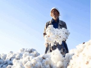 8 5 1 - What Is Long Staple Cotton? Advantages And 3 Types of Long Staple Cotton - Custom Fitness Apparel Manufacturer